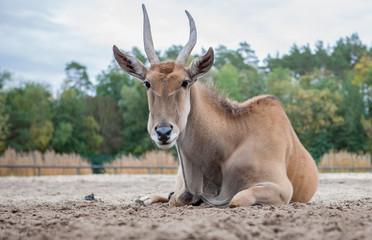 Portrait einer Elenantilope