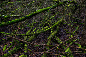 Mossy tree trunks in a dark mystic forest in Germany (Am Kühkopf). Wilderness, environment and...