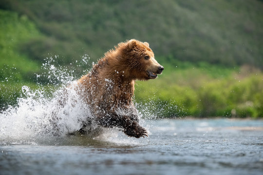 The Kamchatka brown bear, Ursus arctos beringianus catches salmons at Kuril Lake in Kamchatka, running in the water, action picture