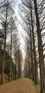 메타세콰이어 산책길 나무들 외로움 마른나무