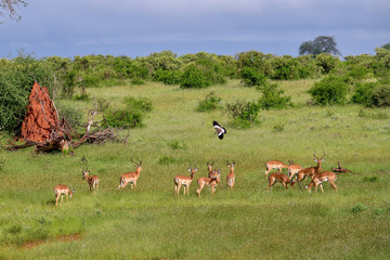 Photo sur Aluminium Antilope Antilopen im Nationalpark Tsavo Ost, Tsavo West und Amboseli in Kenia