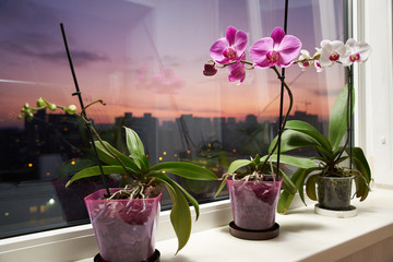 Papiers peints Orchidée On the windowsill of the balcony are orchid flowers