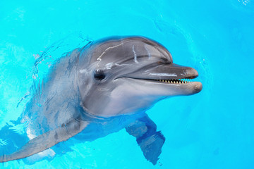 happy smiling bottlenose dolphin playing in blue water in sea.