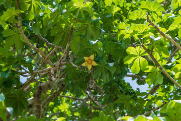 A yellow flower on a baobab tree with green leaves in the background on a sunny day on the island of Zanzibar, Tanzania, Africa