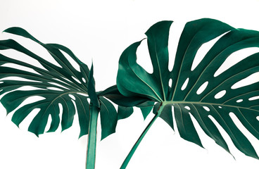 Selective focus of monstera leaves (leaf) on white color for decorating composition design background