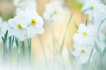 Foto op Canvas Narcis White daffodils in springtime. Selective focus and shallow depth of field.
