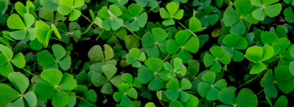 Green clover leaf isolated on white background. with three-leaved shamrocks. St. Patrick's day holiday symbol.