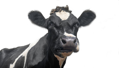 Fotobehang Koe A black and white dairy cow isolated on a white background