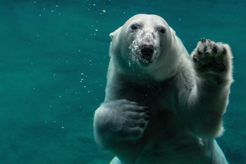 Deurstickers Ijsbeer polar bear in zoo
