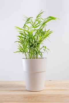 Chamaedorea elegans, a potted plant in a pot.