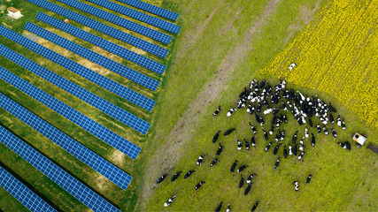 A herd of cows grazing near a solar power plant