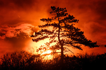 In de dag Rood traf. Fire colors and pine tree silhouette in Fontainebleau forest
