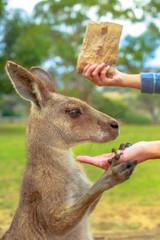 Foto op Aluminium Kangoeroe Portrait of kangaroo eating from hand. Feeding Australian animals in nature. Kanguro outdoor holds a woman's hand. Conceptual: let's save kangaroos from bushfires in Asutralia.