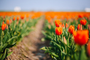 Magical Netherlands landscape with flower tulip field in Holland. Colorful dutch tulips flowering in fields and garden on spring Netherlands. Tourist attraction in Holland on springtime. Soft focus