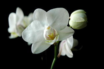 Wall Murals Flower shop white orchid on black background