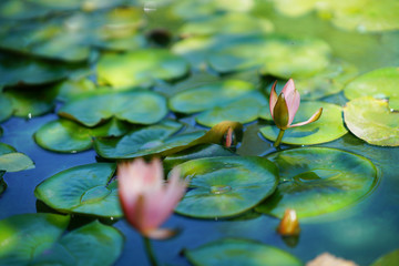 Stores photo Nénuphars water lily in pond