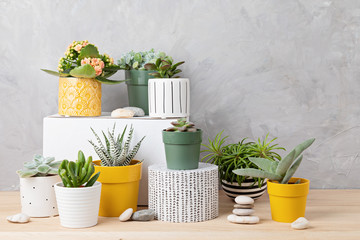 Türaufkleber Kakteen Collection of various succulents and plants in colored pots. Potted cactus and house plants against light wall. The stylish interior home garden