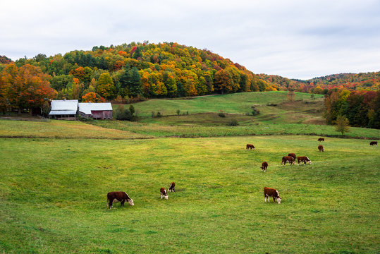 Dairy cows grazing in a grass field with farm buildings at the foot of a colorful forested hill in background on a cloudy autumn day