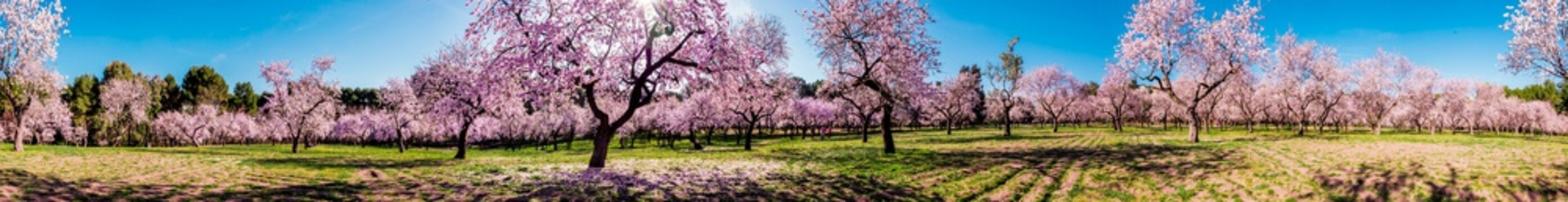 Pink alleys of blooming with flowers almond trees in a park in Madrid, Spain spring