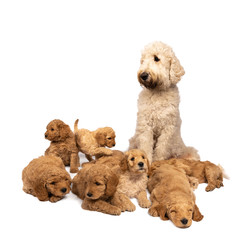 A litter of cute labradoodle puppies sleeping at the feet of their mother  isolated on a white background with space for text
