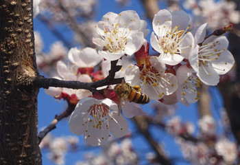 Branches of blossoming cherry macro with bee on gentle light blue sky background in sunlight. Beautiful floral image of spring nature.