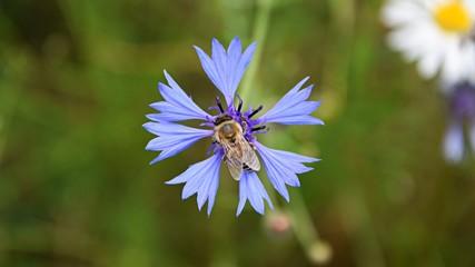 Bee on a Cornflower flower. Blue flower with a bee