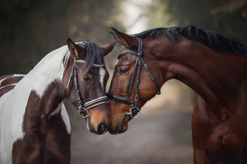 Foto auf Leinwand Pferde portrait of stallion and mare horses in love nose to nose sniffing each other on road in forest background