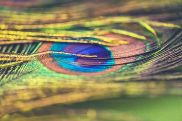 Peacock feather - colorful, bright, light and exotic.  Macro photography. Natural beauty of nature. Background.