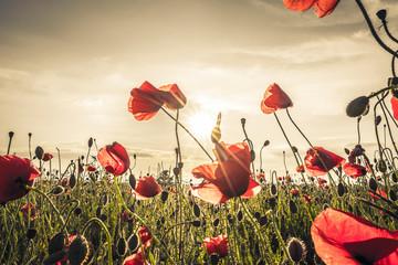 Poppy field at sunset.jpg