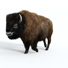 American Bison Male - The American bull bison is a herbivore that is a megafauna species of the United States and Canada.