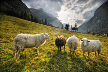 Fond de hotte en verre imprimé Sheep Sheep in the mountains at sunset Slovenia - Europe.jpg