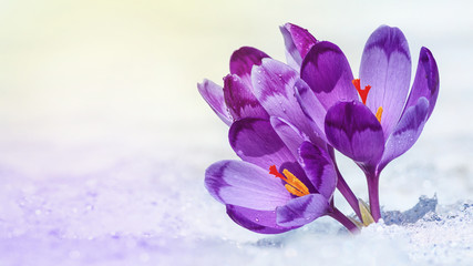 Tuinposter Krokussen Crocuses - blooming purple flowers making their way from under the snow in early spring, closeup with space for text