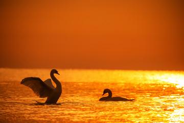 Foto op Plexiglas Zwaan White swans in the sea,sunrise shot