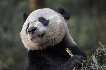Wall Mural - Panda Bear Holding Bamboo, Bifengxia Panda Reserve in Ya'an Sichuan Province, China. Panda