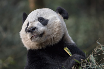 Fotomurales - Panda Bear Holding Bamboo, Bifengxia Panda Reserve in Ya'an Sichuan Province, China. Panda