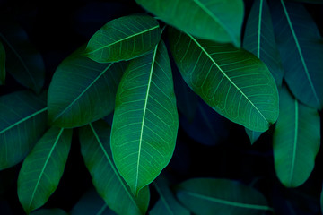 abstract dark green leaf texture, nature background, tropical leaf