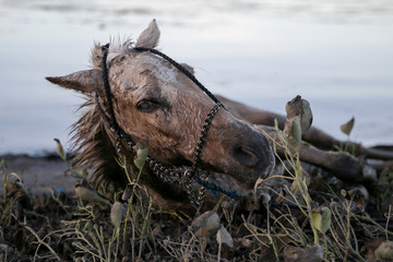 An injured horse covered with volcanic ash falls to the ground after being rescued by residents near the errupting Taal Volcano