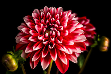 Single Red and White Dahlia Flower Isolated on Black Background