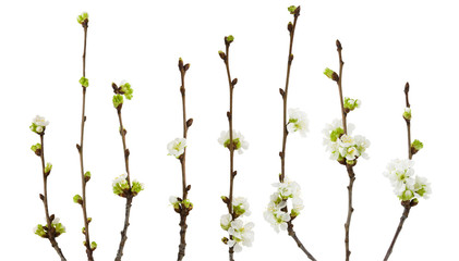 Spring cherry blossoms flowers on branch isolated on white background with clipping path Fotobehang