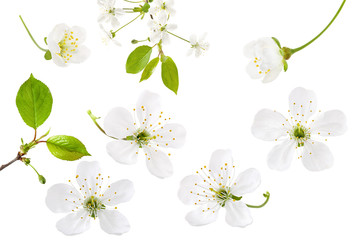 Cherry flower isolated on white background. Set of spring blooming cherry blossom, branch and green leaves, close-up
