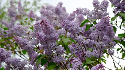 Spoed Foto op Canvas Lilac Branches of blooming lilac close-up on a spring and summer day in the village. The concept of the countryside. Gardening. Plant flowers