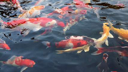 Many colorful koi fish play in the pool and wait for the party. The concept of fighting for food Decorative fish for the park area