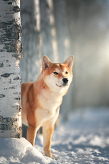 Shiba Inu dog in winter