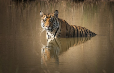 Tiger relaxing in the pool of water