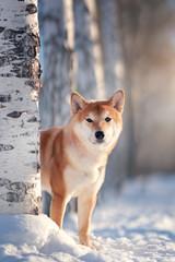 Shiba Inu dog in winter