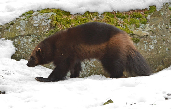 """Wolverine, Gulo gulo (Gulo is Latin for """"glutton""""), also referred to as glutton, carcajou, skunk bear, or quickhatch, in forest in winter"""