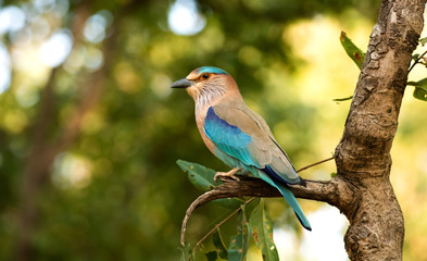 Zelfklevend Fotobehang Vogel An Indian roller perched in Bandhavgarah National Park, India. The bird was formerly locally called the Blue Jay. It is a member of the roller family of birds.
