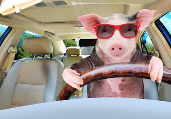 Portrait of a funny pig driving a car Fototapete