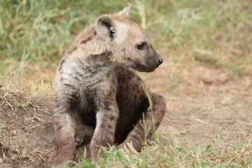 Fotobehang Hyena Young spotted hyena cub sitting by its den.