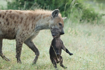 Fotobehang Hyena Spotted hyena mom carrying her cub.